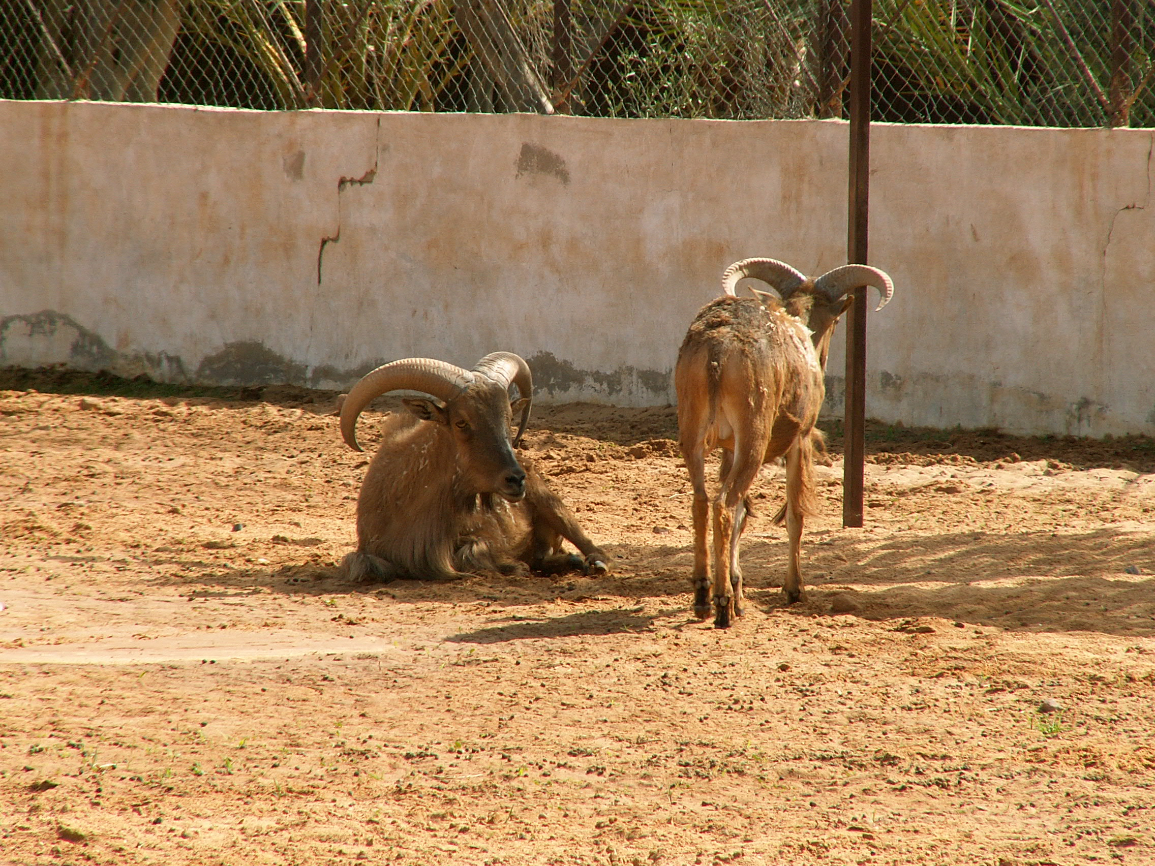 Sergej Marsnjak - Libya (West) - Near Sebha - Zoo - Moufflon